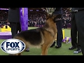 German Shepherd Rumor wins Best in Show | Westminster Dog Show (2017) | FOX SPORTS