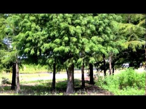 Plant a Bald Cypress Tree, Top Video