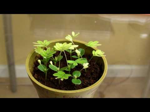 Mimosa pudica (touch sensitive plant) Time Lapsed, Touched, and Heated in HD