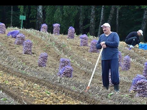 Лукашенко с сыном Колей выкопали 105 тонн картошки!