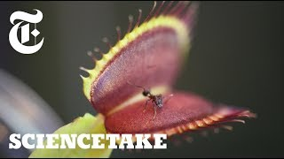 Venus Flytraps Use Internal Stopwatch to Capture Prey | ScienceTake