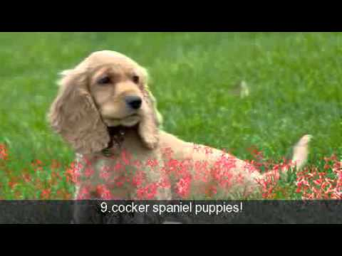 the top 20 cutest puppie count down!