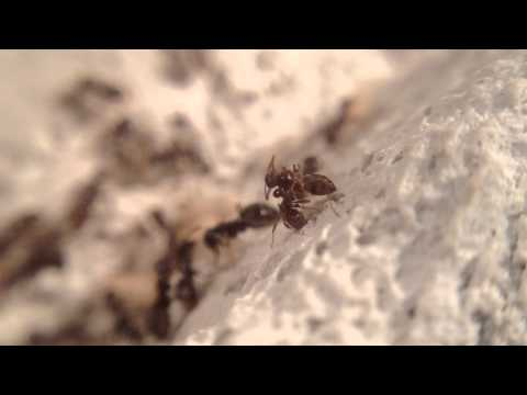 Daily life of a young lasius niger colony.