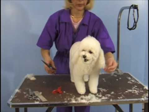 Poodle Teddy Bear Clip  / Pet Grooming Studio Academy