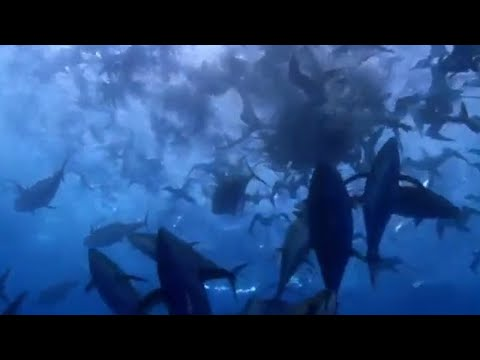 fish bait ball in open water blue planet bbc. Black Bedroom Furniture Sets. Home Design Ideas