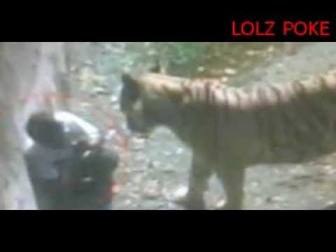 SHOCKING VIDEO: WHITE TIGER KILL AND EAT MAN IN ZOO IN DELHI, INDIA. TIGER ATTACK A MAN. UNCUT