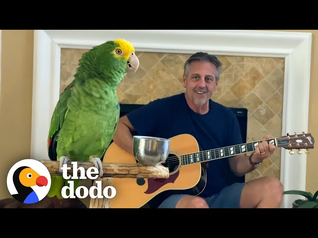 Parrot Insists On Singing Whenever Dad Plays Guitar    The Dodo Soulmates