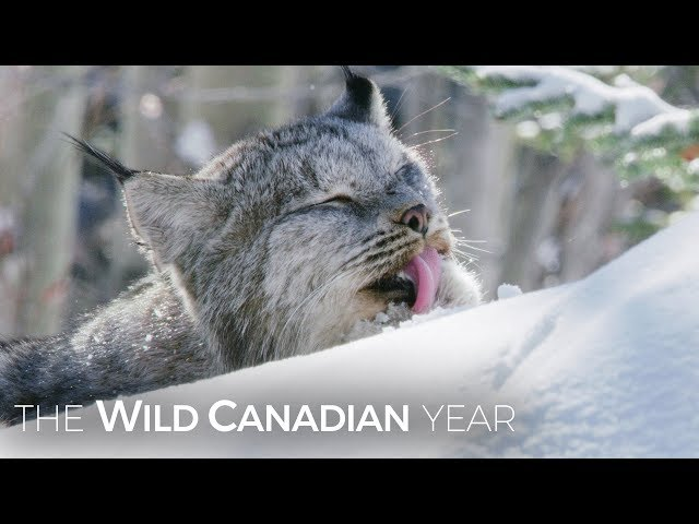 A Wild Canadian Lynx And A Cameraman Develop An Amazing Relationship   Wild Canadian Year