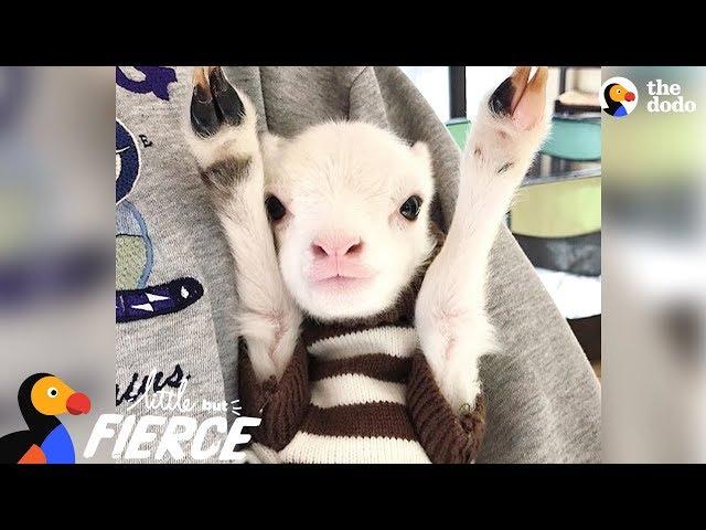 Fuzzy Little Lamb Is Nonstop Chaos   The Dodo Little But Fierce