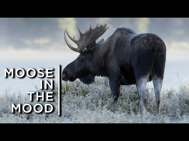 """Moose in the mood: Males woo females with their intoxicating """"perfume"""""""