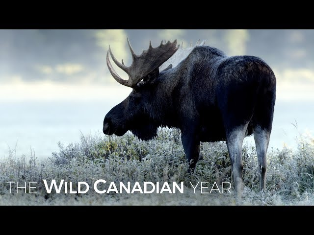 Moose Are One Of The Last Species You'd Expect To Be Swimming For Their Supper | Wild Canadian Year
