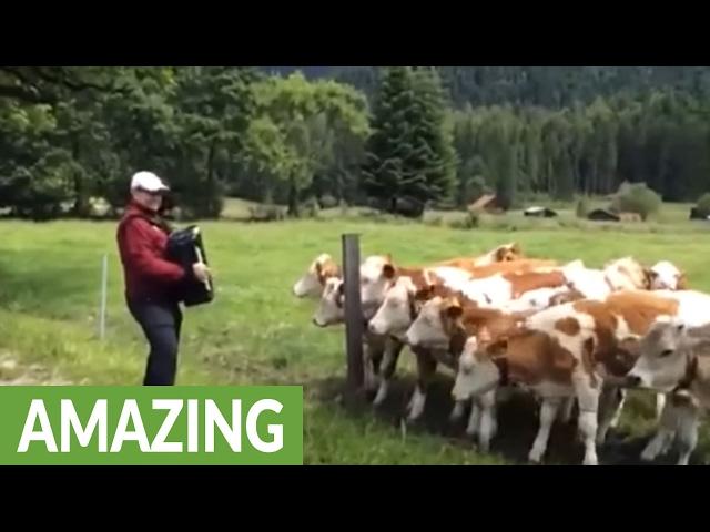 Grazing cows rush to listen to accordion music