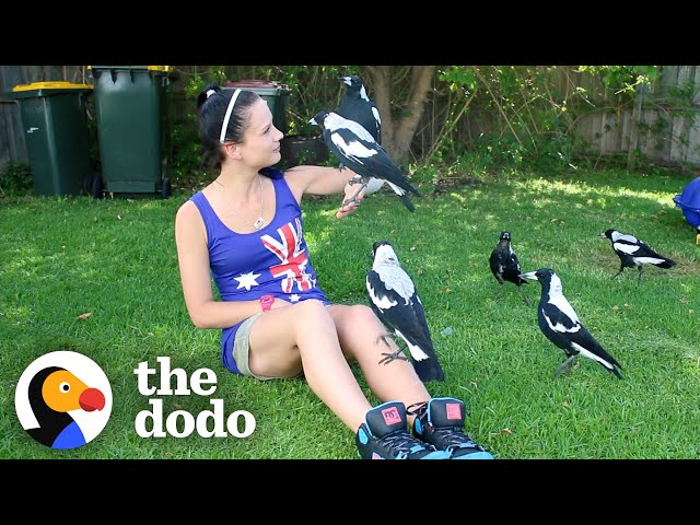 Woman Gives Toys to a Wild Magpie — and He Invites His Friends Over to Play   The Dodo Wild Hearts