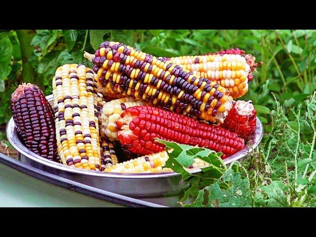 Growing Rainbow Corn & What Does It Taste Like?