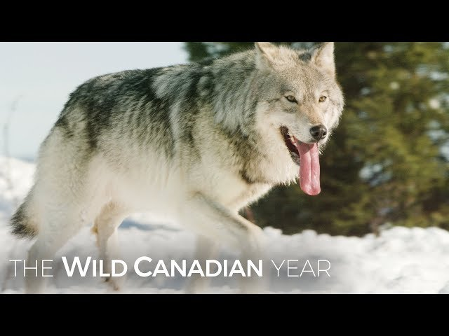 Wolves Hunt Caribou In Quebec's Northern Forest   Wild Canadian Year