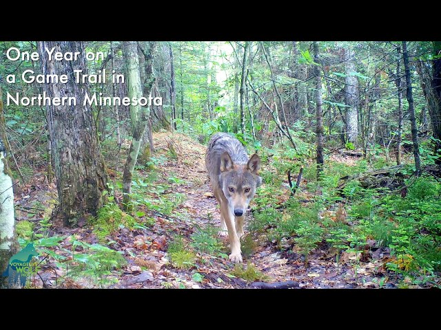One year on a game trail in Northern Minnesota