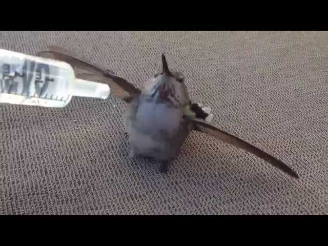 Watch the look in its eyes at the end. Hummingbird rescue