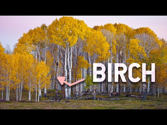 BIRCH - 5 Things you Didn't Know About this Amazing Tree