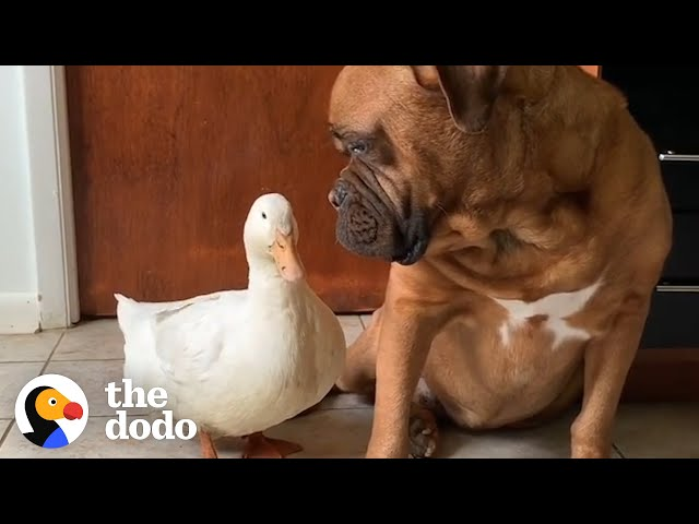 The Happiest, Cuddliest Duck Ever Is Obsessed With A Giant Dog   The Dodo