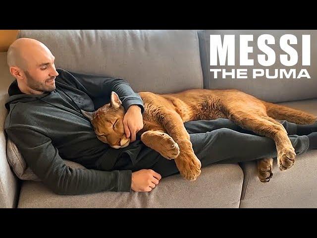 Messi The Puma is a Big Ol' House Cat