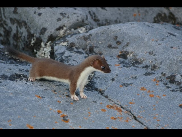 Short-tailed Weasel - Cape Merry, Churchill, MB