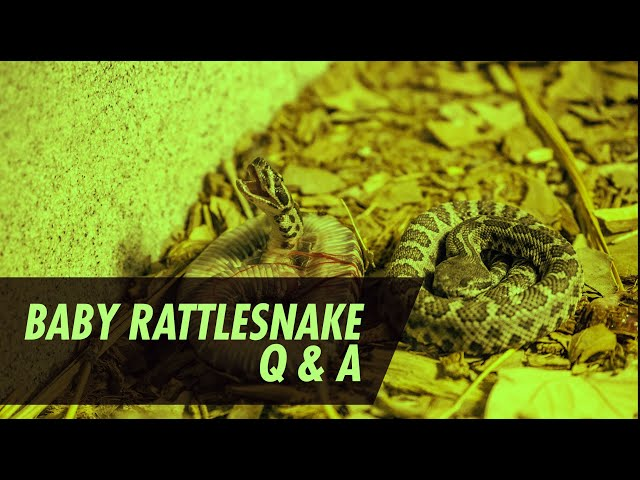 Baby Rattlesnake Season Question and Answers