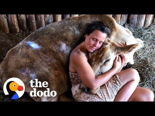 Neglected Cow Melts Into Her Rescuer's Arms | The Dodo Heroes