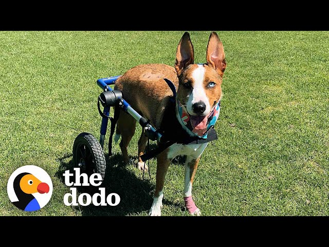Dog Who Was Paralyzed Decides She's Going To Run Again   The Dodo Comeback Kids