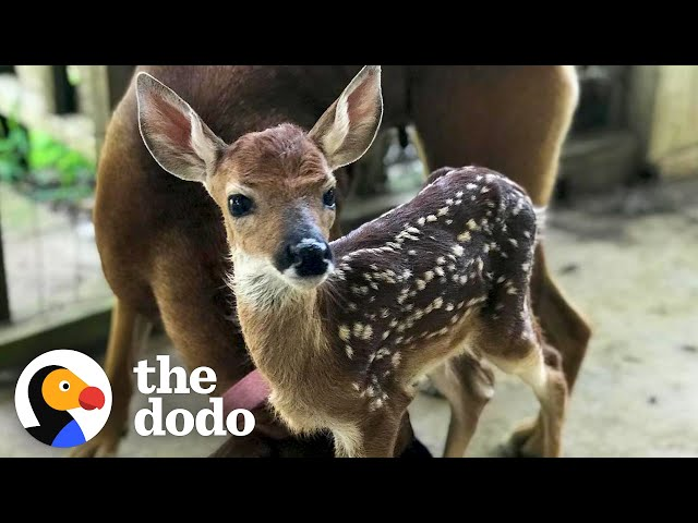Fawn Comes To Lady's Door Every Morning   The Dodo Little But Fierce