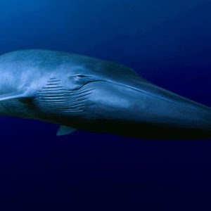 Blauwale Francisco Und Die Blauwale Wwf Die Story Youtube