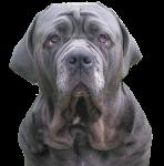 Dad Dog Loves His Neapolitan Mastiff Puppies Youtube