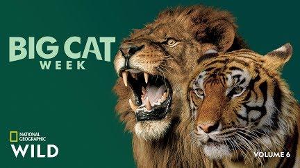 Male Lions vs  Female Lions | Big Cat Week - YouTube