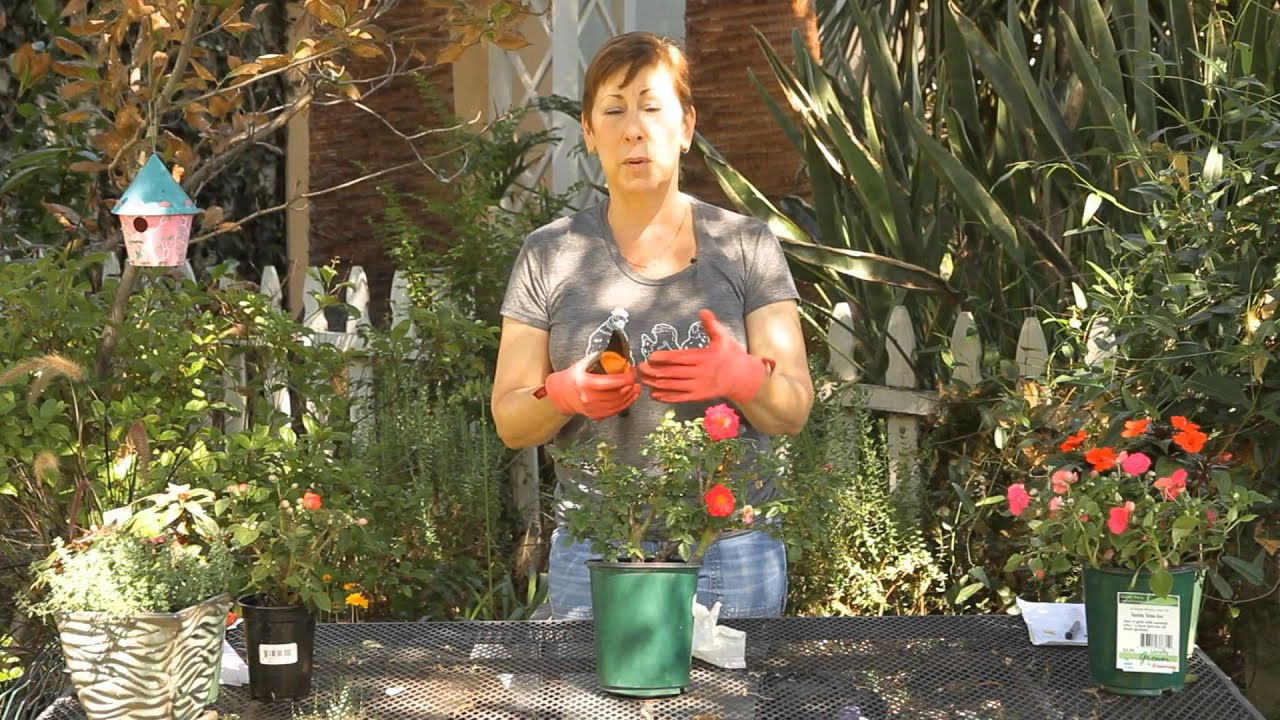 How to Trim a Ground Cover Rose Bush : Garden Space - YouTube
