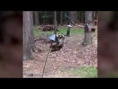 Smart Raccoon Climbs Bird Feeder To Get Food