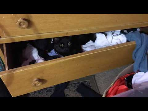 CAT IN THE SOCK DRAWER! 🙀🙀🙀 How cute is this Bombay Cat?