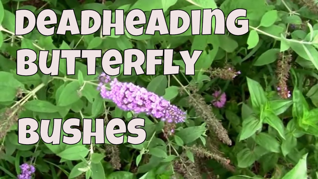 Deadheading Butterfly Bushes A Look At How To Do It Youtube