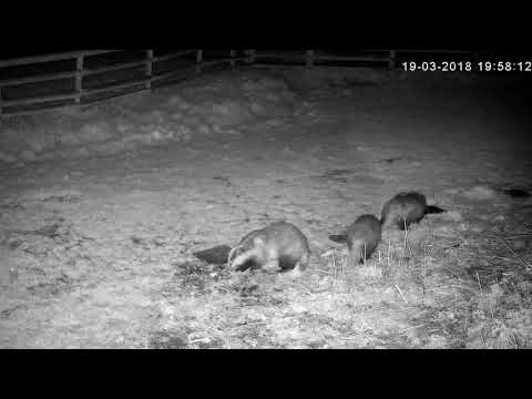 hustle-and-bustle-at-the-feeding-spot,-with-3-badgers-and-2-foxes