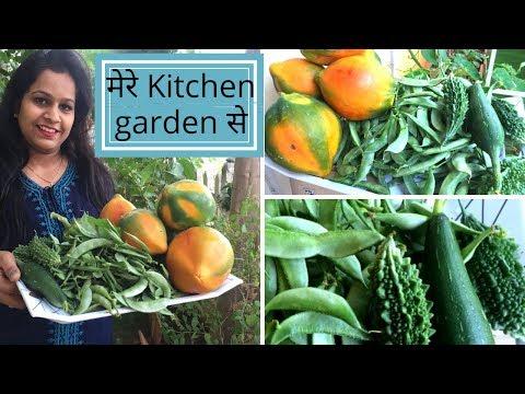 मेरे kitchen garden की  fresh और organic सब्जिया  Indian kitchen garden tour