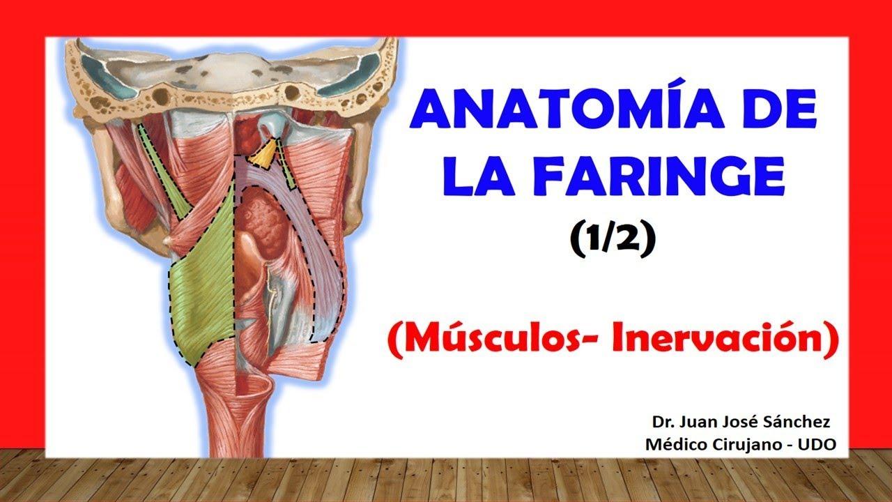 Cuello 13 - Anatomía de la Faringe 1, (Músculos, Inervación) - YouTube