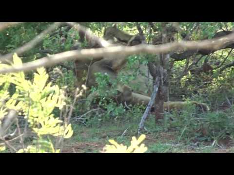 Lazy lion in Kruger Park