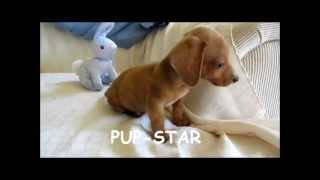 Miniature, Standard, Teacup Dachshund, Puppies, For, Sale, In, New Jersey, Nj, Pa, De, Md,ct