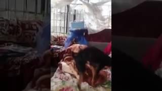 Собака сексуалист