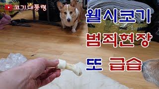 [corgi] 웰시코기 개껌파티 급습
