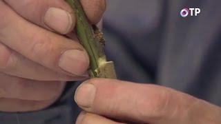 Размножение древовидных пионов прививкой