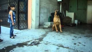chocorroll 80 dias mexico d.f. cachorro presa canario  presa canario puppy