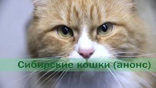 Сибирские кошки (анонс)
