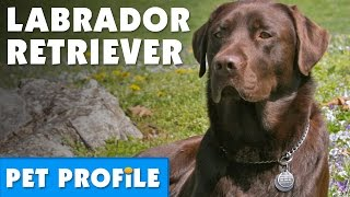 Labrador Retriever Pet Profile | Bondi Vet