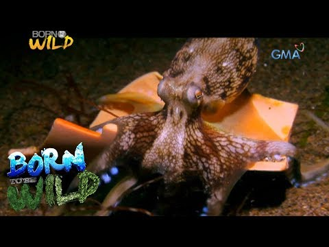 Born to Be Wild: Octopus, the escape king