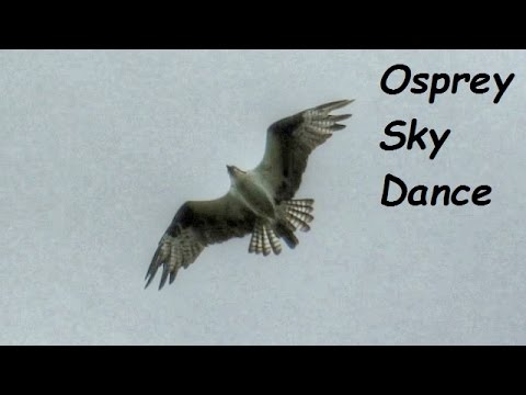 Osprey Sky Dance And Mating Calls