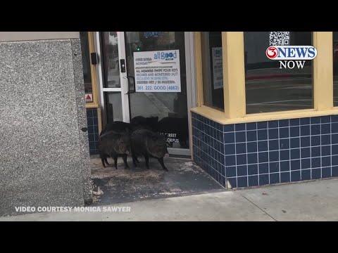 Group of javelinas spotted exploring downtown Corpus Christi